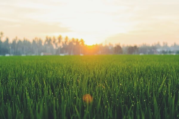 How Long Does It Take For Grass To Grow - sun over grass