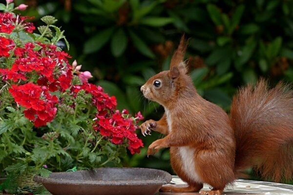 How to keep squirrels out of flower pots - squirrel going near the flowers