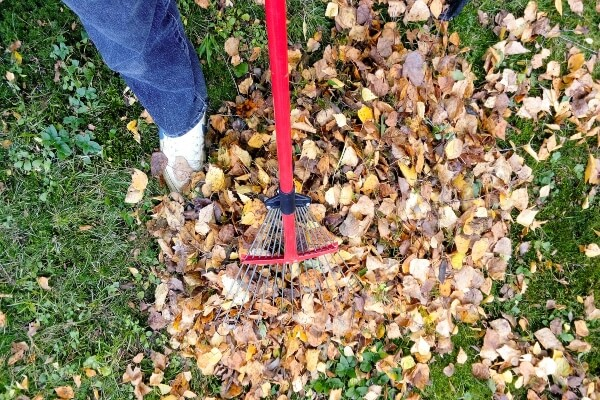 man removing leaves with a rake