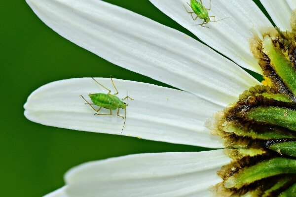 aphid on a flower